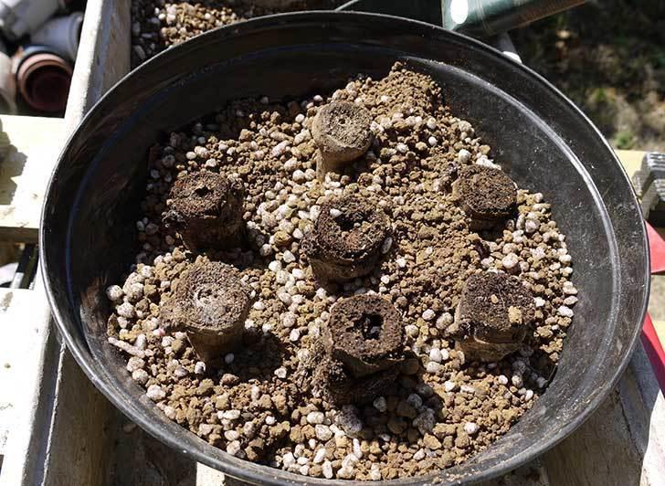 コウテイダリア挿し穂を取り出して挿し床に挿し木した1.jpg