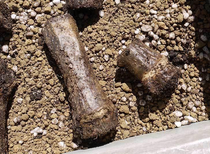 コウテイダリア挿し穂を取り出して挿し床に挿し木した6.jpg