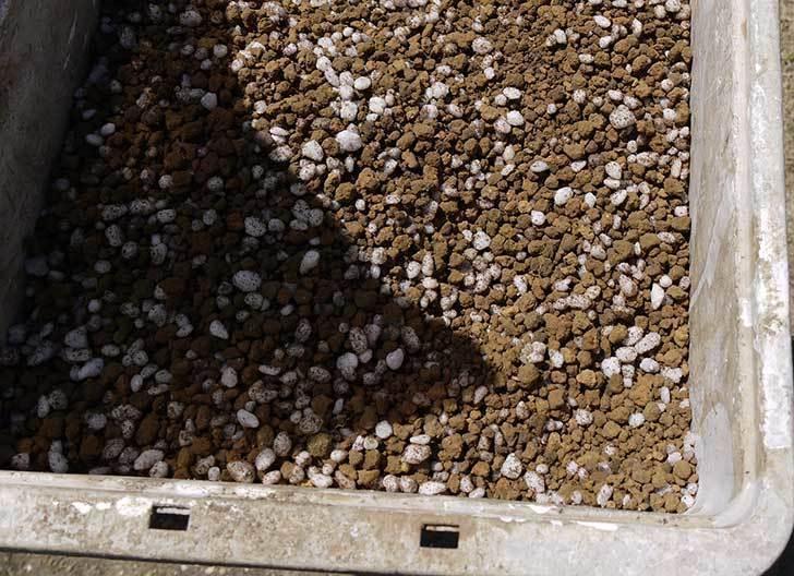 コウテイダリア挿し穂を取り出して挿し床に挿し木した9.jpg