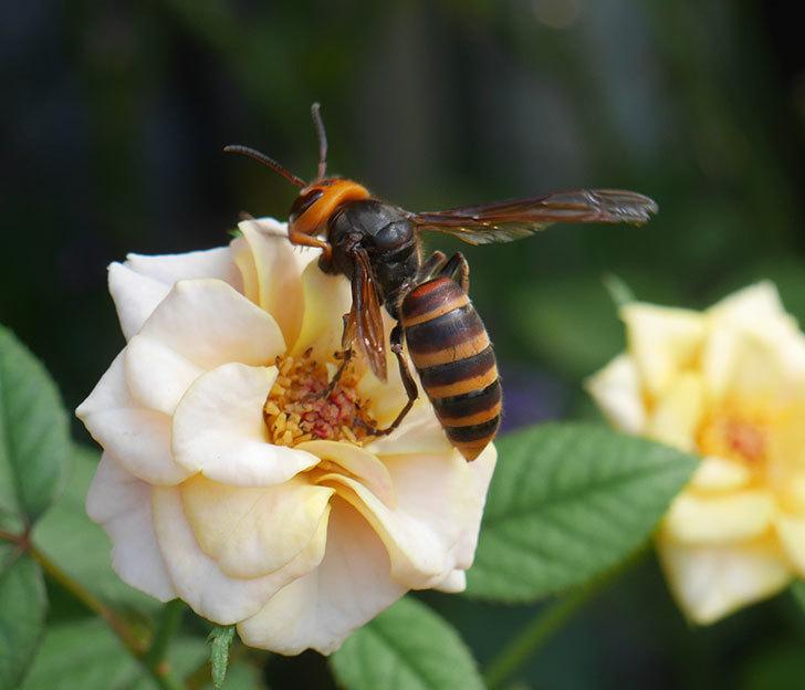 コガタスズメバチがライズンシャインの花にいた。2019年-1.jpg