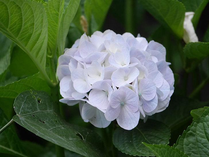 コットンキャンディの花が咲きだした。2021年-005.jpg