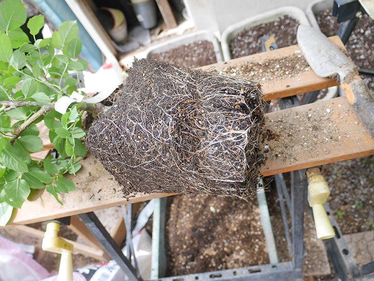 コフレ(Coffret)の大苗を8号ロングスリット鉢に植え替えた。半ツルバラ。2021年-002.jpg