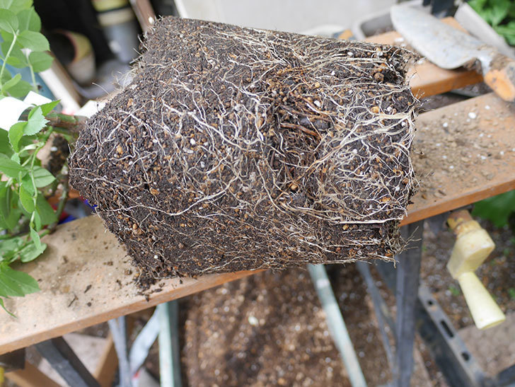 コフレ(Coffret)の大苗を8号ロングスリット鉢に植え替えた。半ツルバラ。2021年-003.jpg