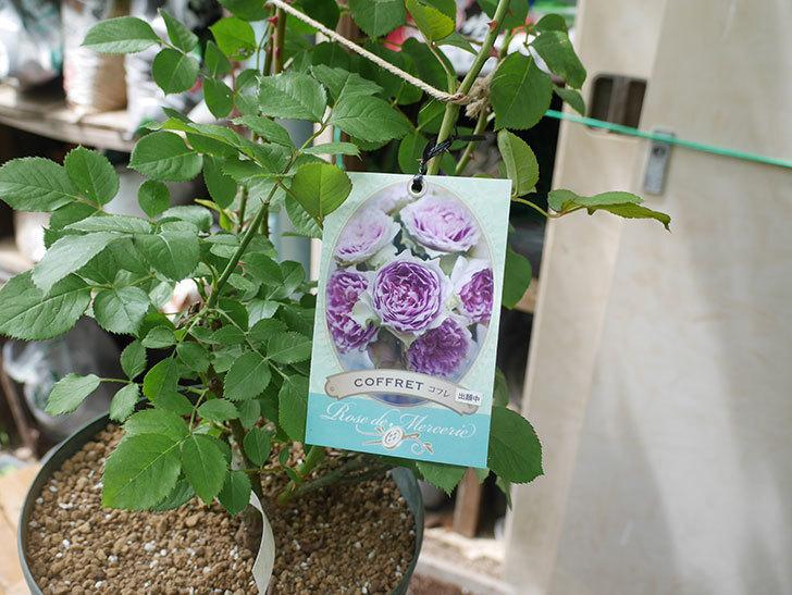 コフレ(Coffret)の大苗を8号ロングスリット鉢に植え替えた。半ツルバラ。2021年-011.jpg