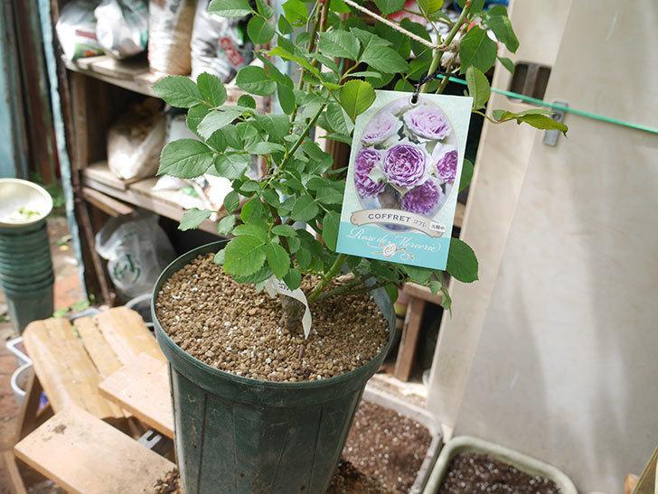 コフレ(Coffret)の大苗を8号ロングスリット鉢に植え替えた。半ツルバラ。2021年-012.jpg