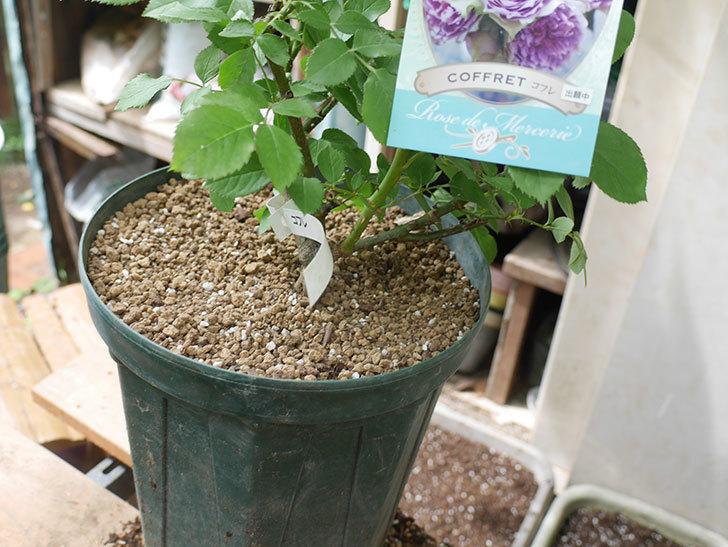 コフレ(Coffret)の大苗を8号ロングスリット鉢に植え替えた。半ツルバラ。2021年-013.jpg