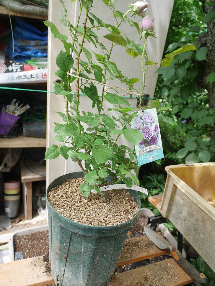 コフレ(Coffret)の大苗を8号ロングスリット鉢に植え替えた。半ツルバラ。2021年-014.jpg