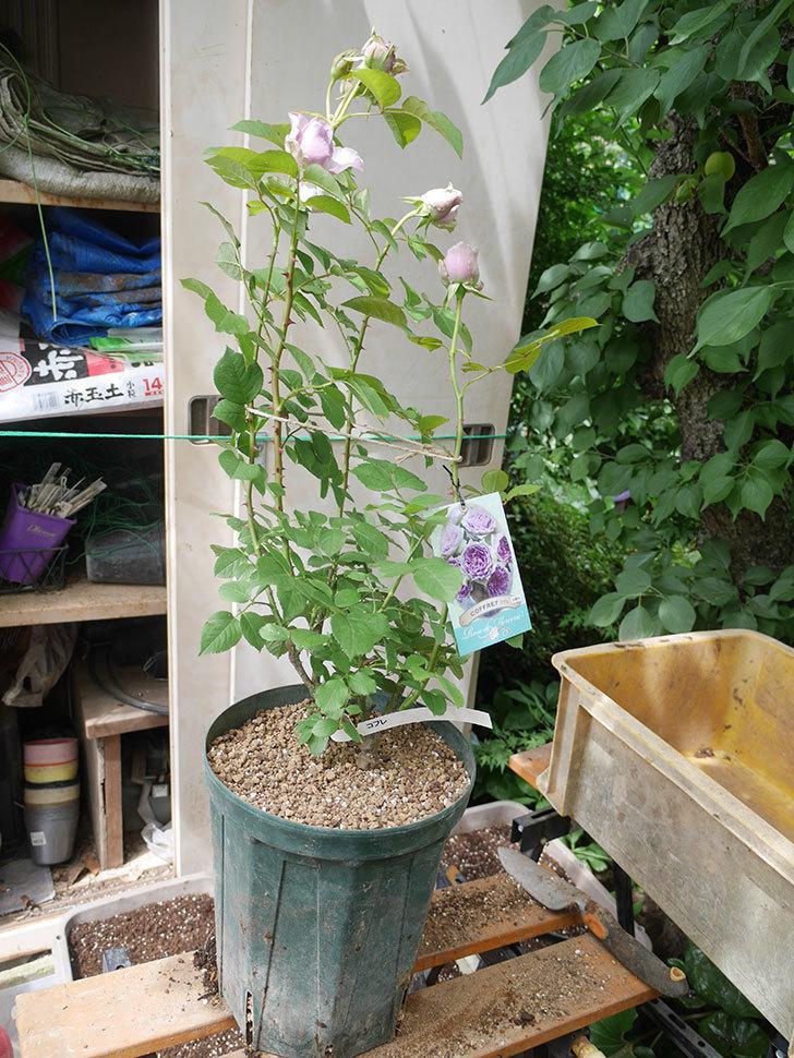 コフレ(Coffret)の大苗を8号ロングスリット鉢に植え替えた。半ツルバラ。2021年-015.jpg