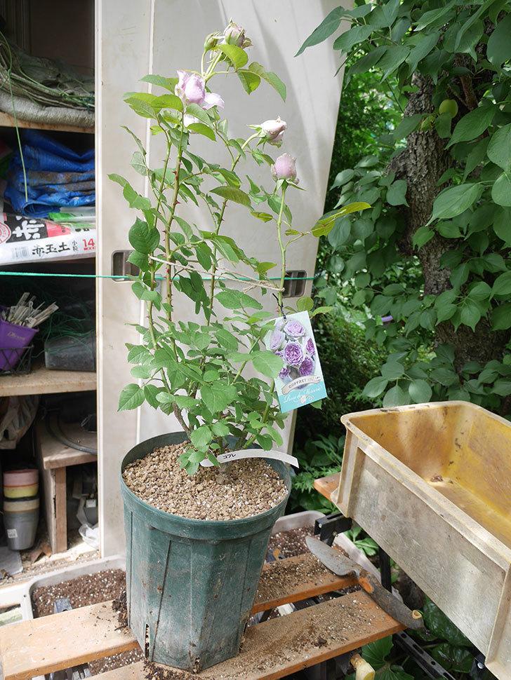 コフレ(Coffret)の大苗を8号ロングスリット鉢に植え替えた。半ツルバラ。2021年-016.jpg