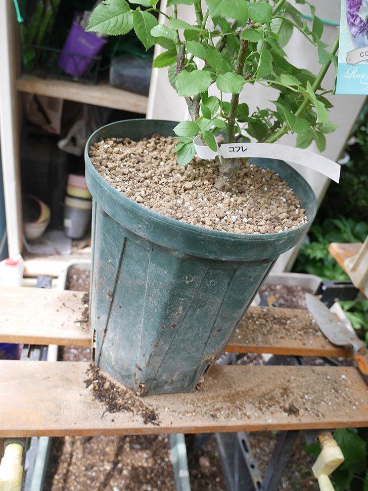 コフレ(Coffret)の大苗を8号ロングスリット鉢に植え替えた。半ツルバラ。2021年-017.jpg