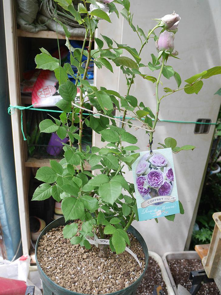 コフレ(Coffret)の大苗を8号ロングスリット鉢に植え替えた。半ツルバラ。2021年-018.jpg