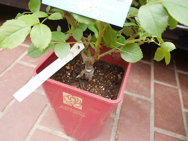 コフレ(Coffret)の大苗をはなはなショップで買った。半ツルバラ。2021年-012.jpg