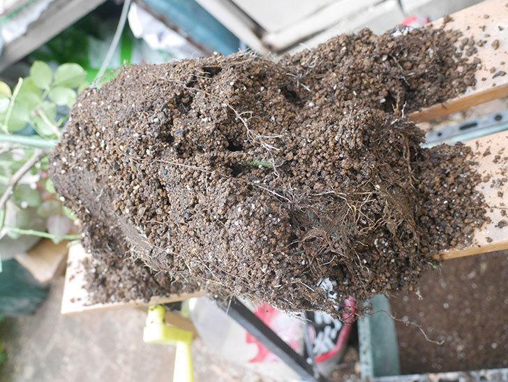 コフレ(Coffret)の大苗懸崖鉢 10号に植え替えた。半ツルバラ。2021年-007.jpg