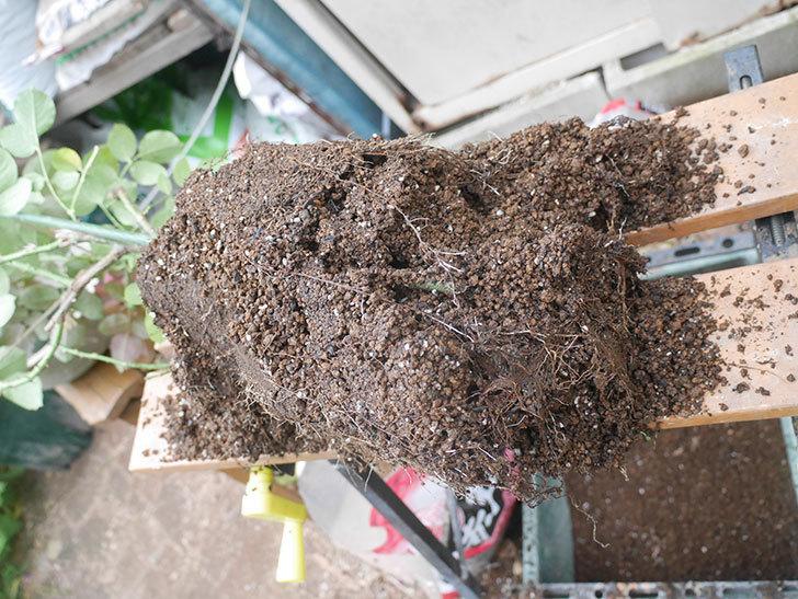 コフレ(Coffret)の大苗懸崖鉢 10号に植え替えた。半ツルバラ。2021年-008.jpg