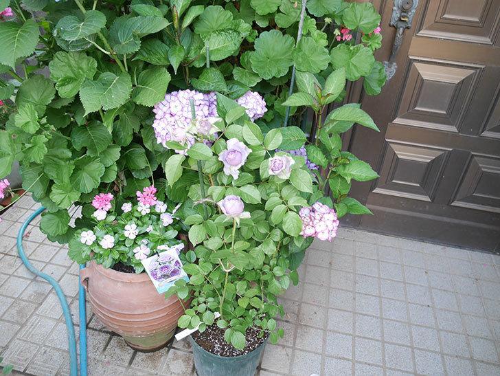 コフレ(Coffret)の花が咲いた。半ツルバラ。2021年-001.jpg