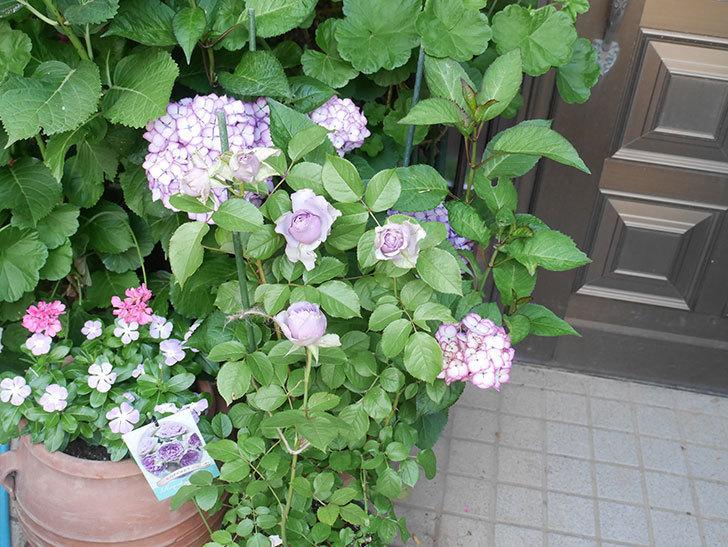 コフレ(Coffret)の花が咲いた。半ツルバラ。2021年-002.jpg