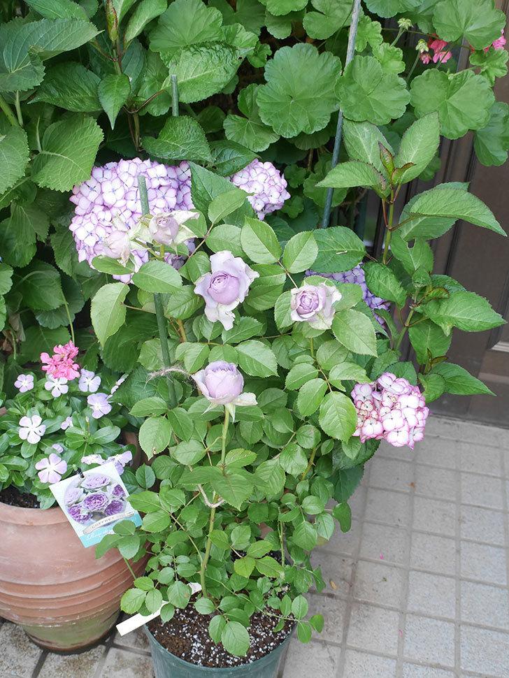 コフレ(Coffret)の花が咲いた。半ツルバラ。2021年-003.jpg