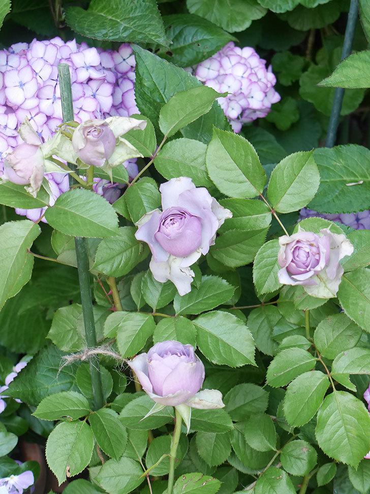 コフレ(Coffret)の花が咲いた。半ツルバラ。2021年-004.jpg