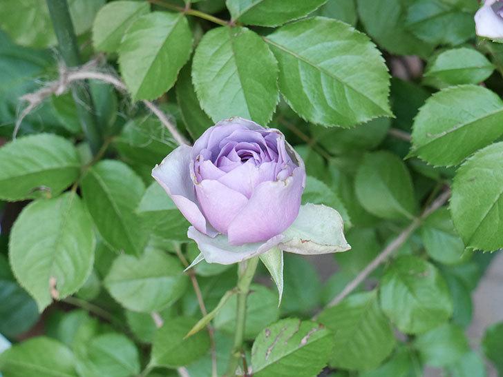 コフレ(Coffret)の花が咲いた。半ツルバラ。2021年-005.jpg