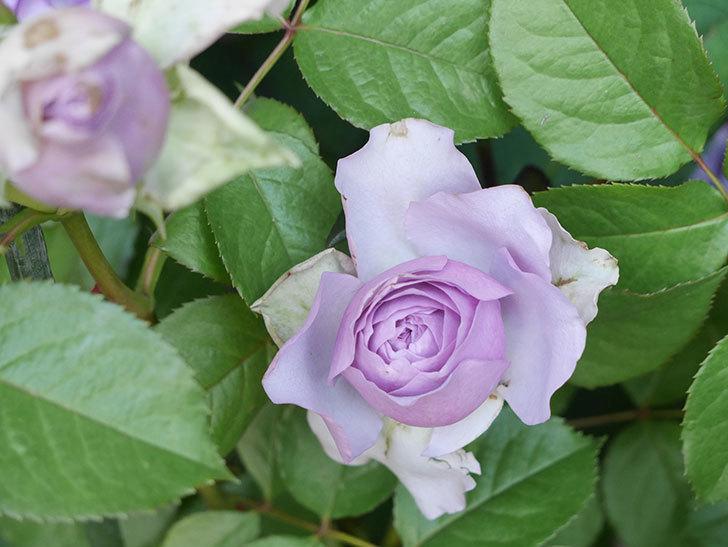 コフレ(Coffret)の花が咲いた。半ツルバラ。2021年-006.jpg