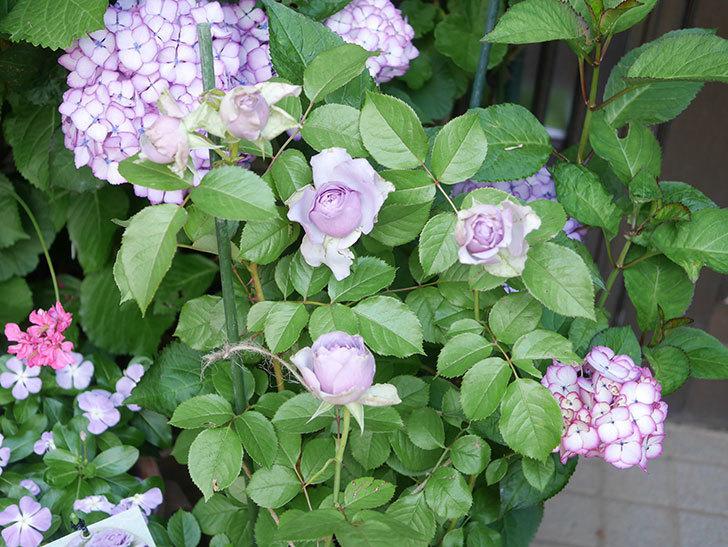 コフレ(Coffret)の花が咲いた。半ツルバラ。2021年-010.jpg