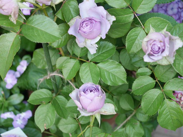 コフレ(Coffret)の花が咲いた。半ツルバラ。2021年-012.jpg