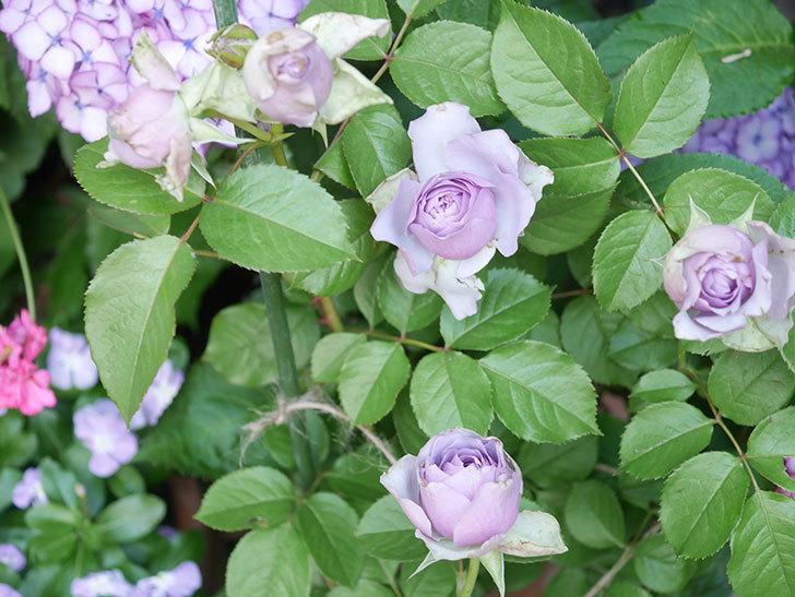コフレ(Coffret)の花が咲いた。半ツルバラ。2021年-013.jpg