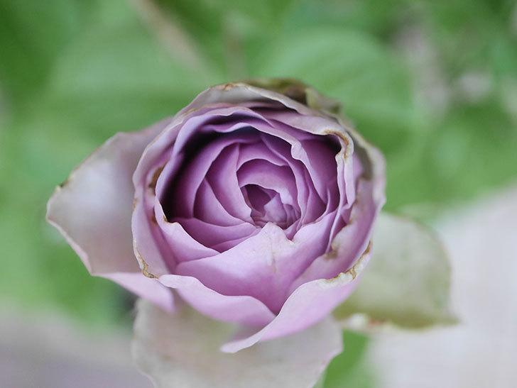 コフレ(Coffret)の花が咲いた。半ツルバラ。2021年-014.jpg
