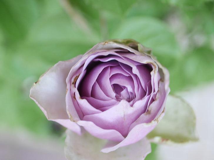 コフレ(Coffret)の花が咲いた。半ツルバラ。2021年-015.jpg
