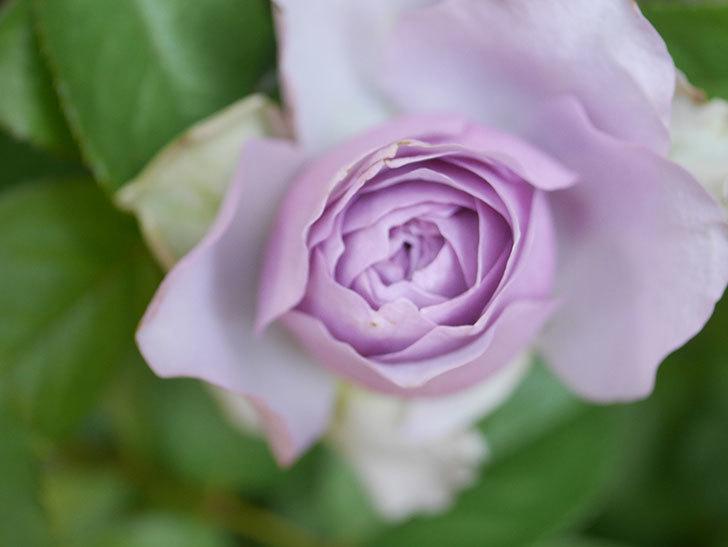 コフレ(Coffret)の花が咲いた。半ツルバラ。2021年-016.jpg