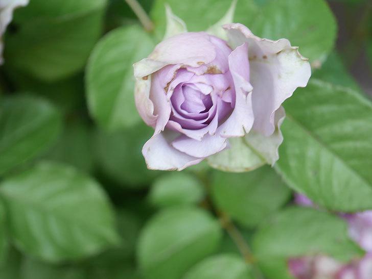 コフレ(Coffret)の花が咲いた。半ツルバラ。2021年-017.jpg