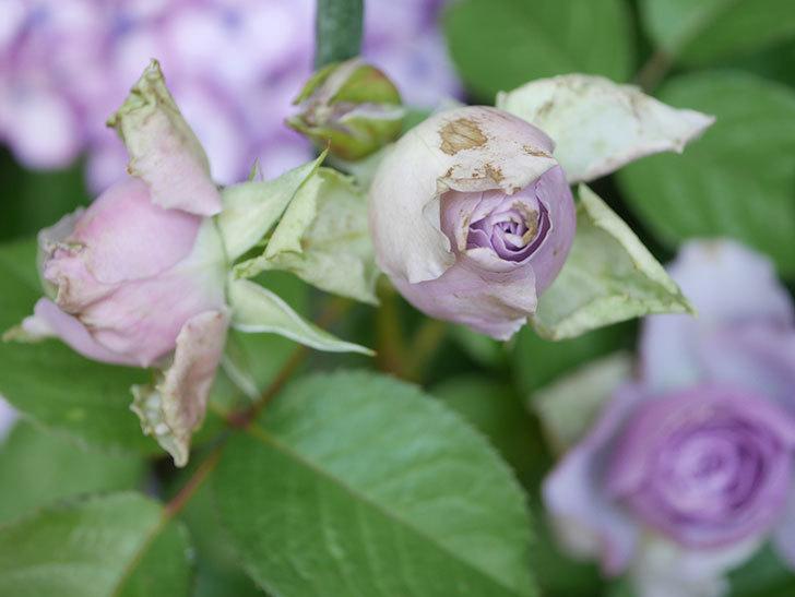 コフレ(Coffret)の花が咲いた。半ツルバラ。2021年-018.jpg