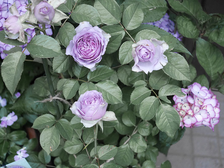 コフレ(Coffret)の花が咲いた。半ツルバラ。2021年-019.jpg