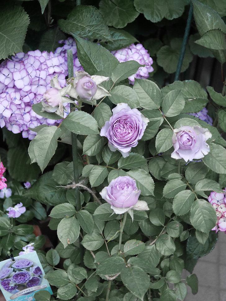 コフレ(Coffret)の花が咲いた。半ツルバラ。2021年-020.jpg