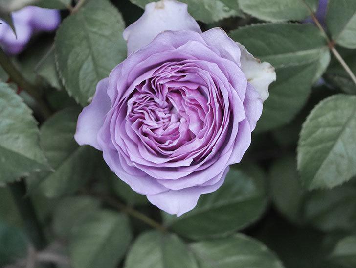 コフレ(Coffret)の花が咲いた。半ツルバラ。2021年-021.jpg