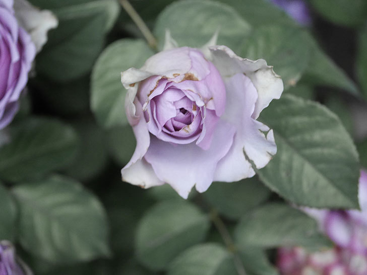 コフレ(Coffret)の花が咲いた。半ツルバラ。2021年-022.jpg