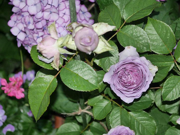コフレ(Coffret)の花が咲いた。半ツルバラ。2021年-024.jpg