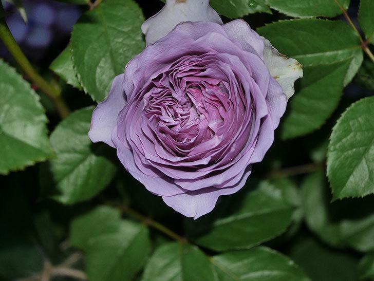 コフレ(Coffret)の花が咲いた。半ツルバラ。2021年-025.jpg
