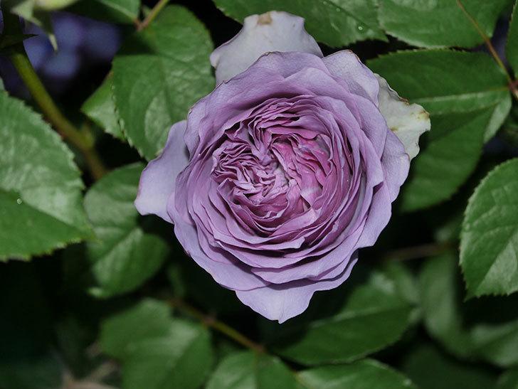 コフレ(Coffret)の花が咲いた。半ツルバラ。2021年-026.jpg