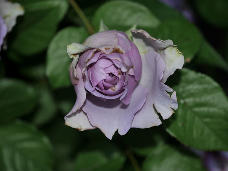 コフレ(Coffret)の花が咲いた。半ツルバラ。2021年-027.jpg