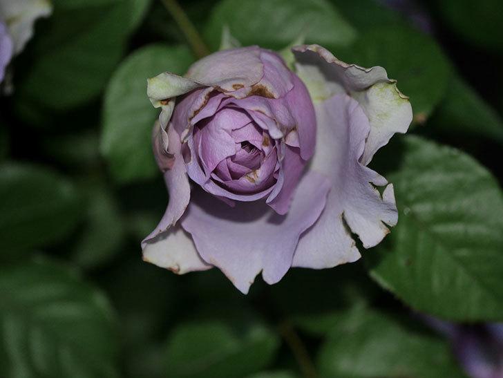 コフレ(Coffret)の花が咲いた。半ツルバラ。2021年-028.jpg