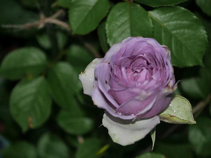 コフレ(Coffret)の花が咲いた。半ツルバラ。2021年-029.jpg