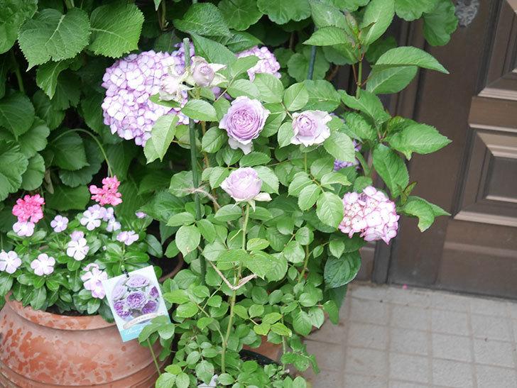 コフレ(Coffret)の花が咲いた。半ツルバラ。2021年-030.jpg