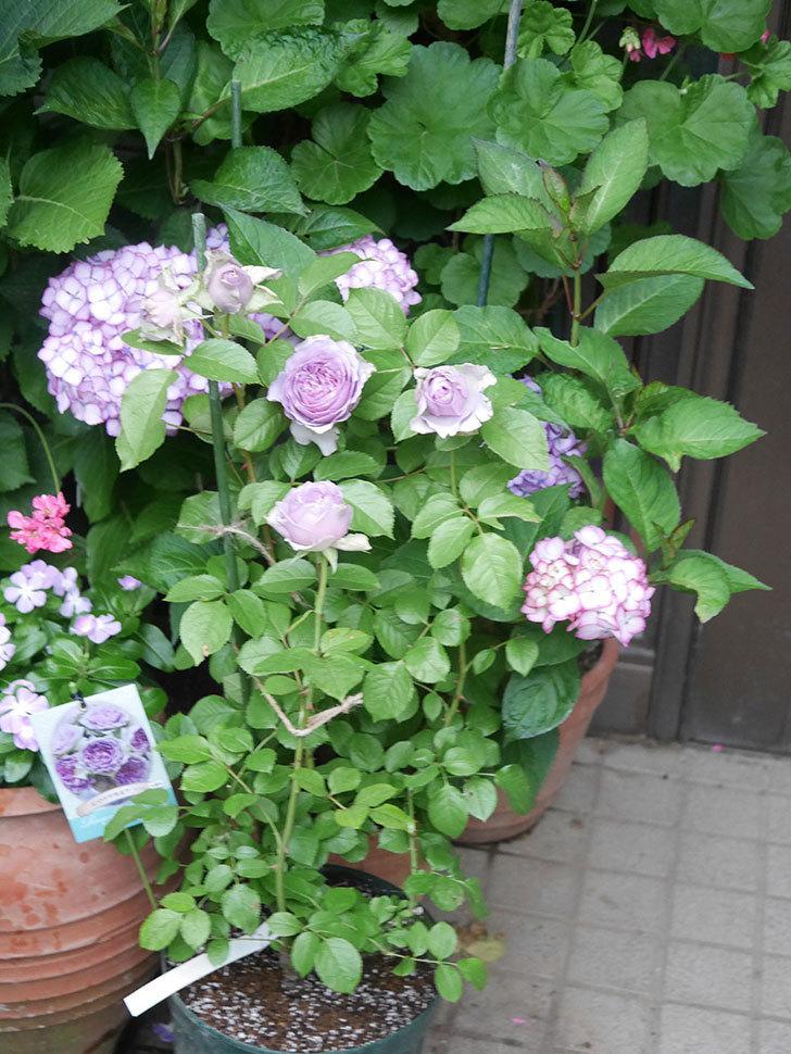 コフレ(Coffret)の花が咲いた。半ツルバラ。2021年-031.jpg