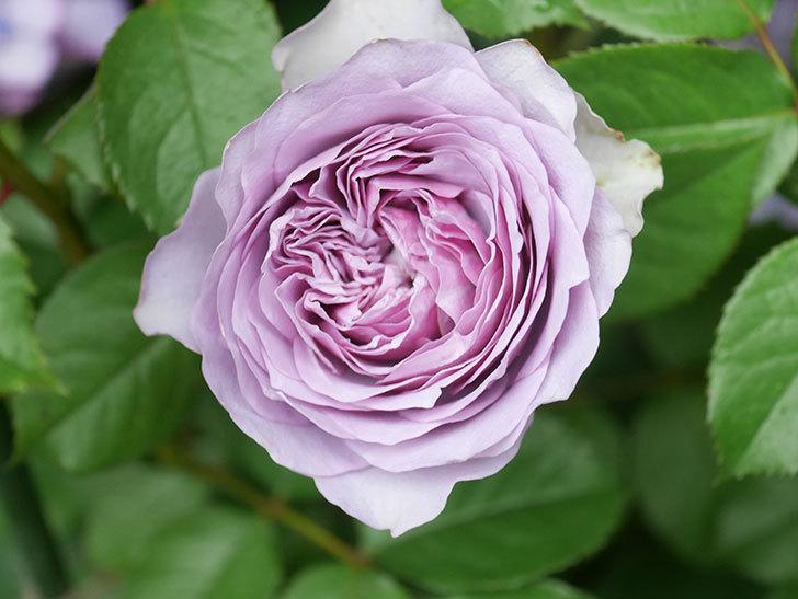 コフレ(Coffret)の花が咲いた。半ツルバラ。2021年-032.jpg