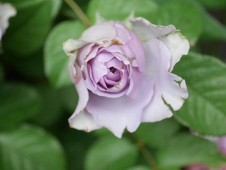 コフレ(Coffret)の花が咲いた。半ツルバラ。2021年-034.jpg