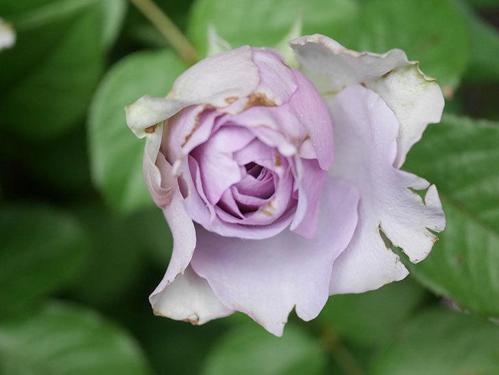 コフレ(Coffret)の花が咲いた。半ツルバラ。2021年-035.jpg