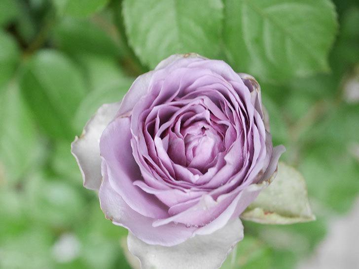 コフレ(Coffret)の花が咲いた。半ツルバラ。2021年-036.jpg