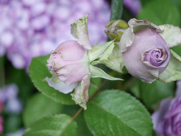 コフレ(Coffret)の花が咲いた。半ツルバラ。2021年-038.jpg