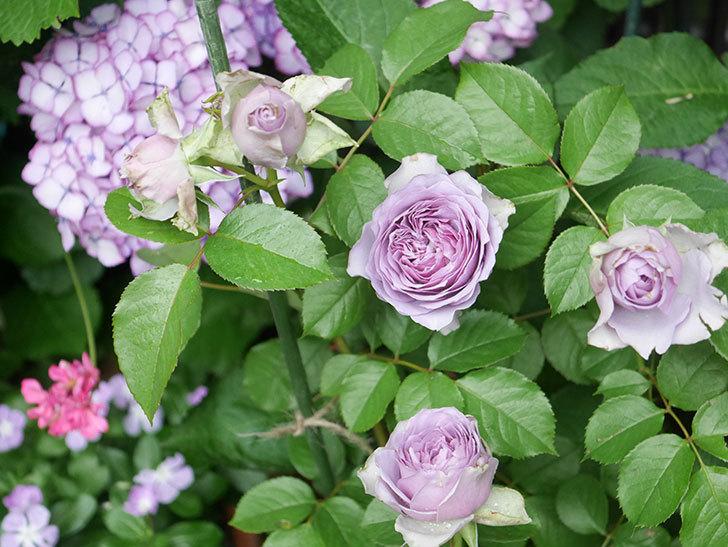 コフレ(Coffret)の花が咲いた。半ツルバラ。2021年-040.jpg